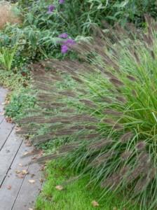 Kann Federborstengras 'Moudry' in Gruppen gepflanzt werden? Welcher Pflanzabstand ist ratsam?