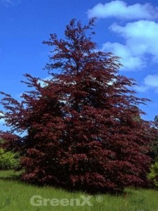 Fagus sylvatica 'Roseomarginata' / Rosa-dunkelrote Buche