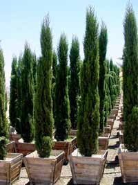 Was ist der optimale Boden und Standort für eine Mittelmeerzypresse / Cupressus Sempervirens?