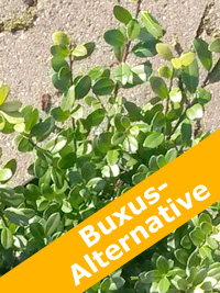 Ilex Crenata Dark Green als Buxus-Alternative – was sind die idealen Standortbedingungen?