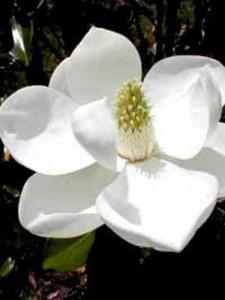 Wie häufig und womit sollte man eine Magnolia grandliflora Goliath düngen?