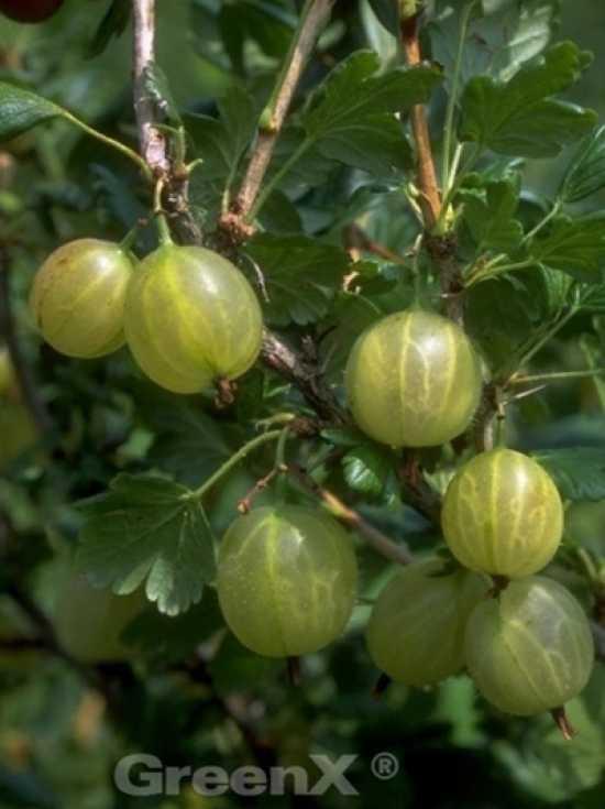 Obstgeh lze fragen bilder pflanz und for Gartenpflanzen versand