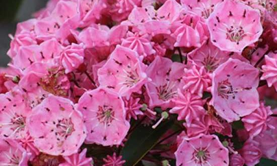 Kalmia latifolia 'Pink Charm'