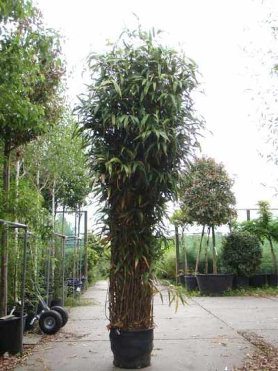 bambus mit einer h he von 4 5m gesucht ist der. Black Bedroom Furniture Sets. Home Design Ideas