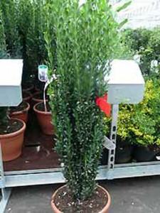 Immergrüne Kübelpflanze Sichtschutz gesucht, die ganzjährig draußen stehen kann