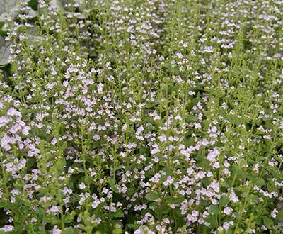 Calamintha nepeta / Garten-Steinquendel  - kommt auch mit einem halbschattigen Standort klar