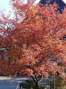Amelanchier lamarckii / Kupfer-Felsenbirne - ein schöner Hausbaum mit tollen Austrieb und schöner Herbstfärbung