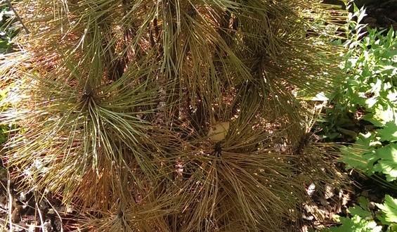 Pinus nigra 'Fastigiata' / Säulenschwarzkiefer / Schwarz-Kiefer 'Fastigiata' mit braunen Nadel - was können die Ursachen sein?