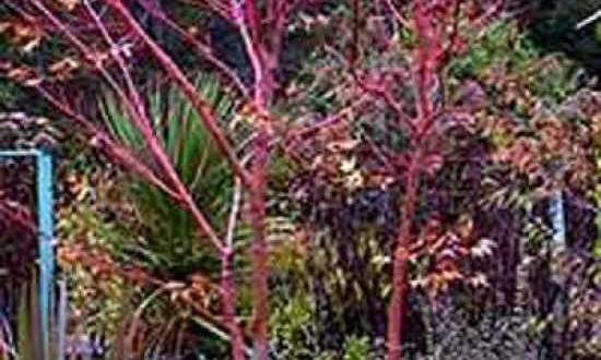 Acer palmatum 'Sango-kaku' / Korallenrinden-Ahorn - ein Umzug sollte gut geplant sein