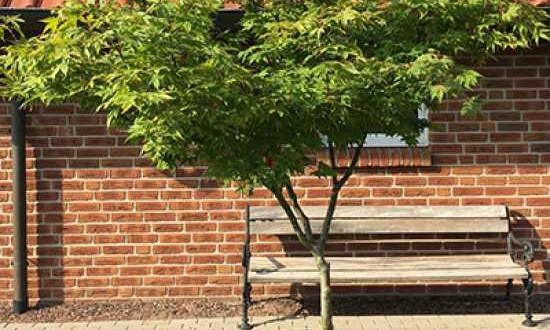 Acer palmatum / Fächer-Ahorn / Japanischer Ahorn H: 200 cm B: 225 cm Schirmform (Einzelstück)