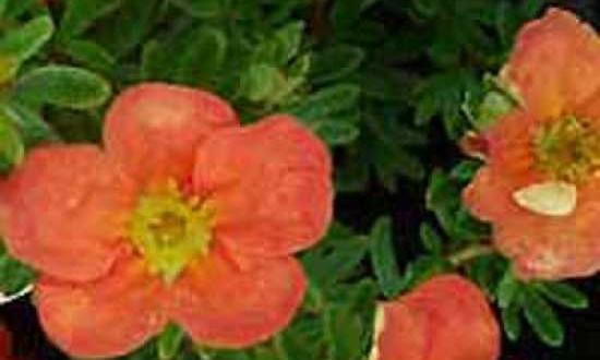 Potentilla fruticosa 'Red Ace ®' / Fünffingerstrauch 'Red Ace' - bildet bei optimalen Bedindungen einen schönen Blüenflor