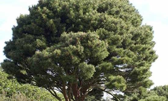 Pinus densiflora 'Umbraculifera' / Japanische Schirm-Rotkiefer