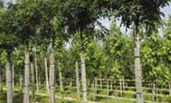 Fraxinus excelsior 'Nana' / Kugel-Esche - gut als Baum im Vorgarten geeignet