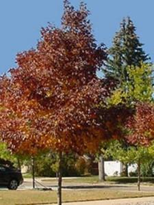 Fraxinus americana 'Autumn Purple' / Weiß-Esche 'Autumn Purple'