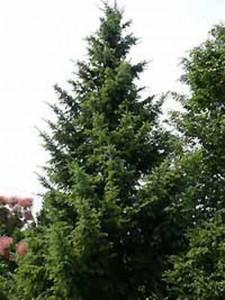 Picea omorika / Omorika-Fichte / Serbische Fichte
