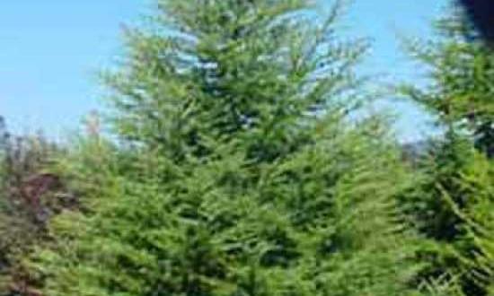 Cedrus libani / Libanon-Zeder - schöne Zedern-Sorte mit grünen Nadeln