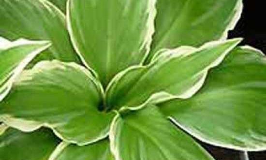 Hosta undulata 'Albomarginata' - verträgt auch sonnigere Standorte ganz gut