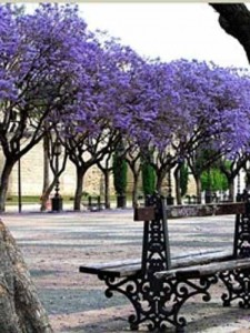 Palisanderbaum als freistehende Gehölz für Garten geeignet?