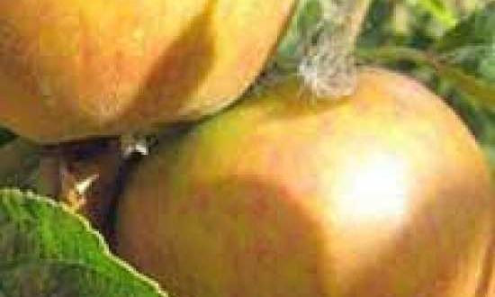 Malus domestica 'Cox Orange' / Apfel 'Cox Orange' / Cox Orangenrenette