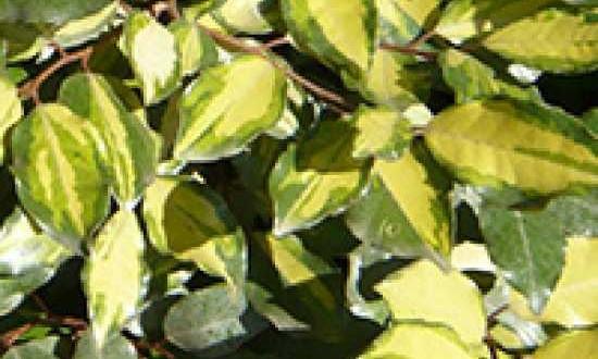 Elaeagnus ebbingei 'Limelight' / Wintergrüne Ölweide 'Limelight'