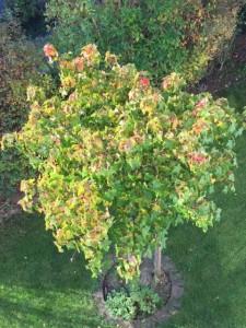 Zwerg-Kugel-Amberbaum hat nur eine schwache Herbstfärbung – was können die Ursachen sein?