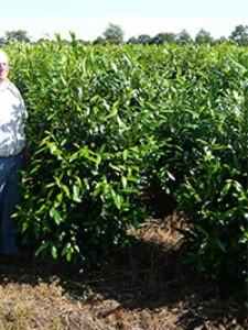 Prunus laurocerasus 'Herbergii' / Kirschlorbeer 'Herbergii' - kann in der ersten Zeit nach der Verpflanzung Stressreaktionen zeigen
