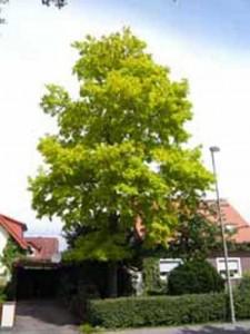 Gleditsia triacanthos 'Sunburst' / Gold-Gleditschie - bildet keine Früchte aus und wird bis zu 12m hoch