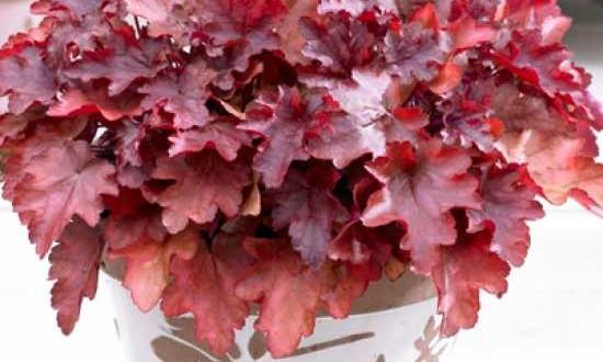 Heuchera micrantha 'Peach Flambé ®' / Purpurglöckchen als Unterpflanzung für den Glanz-Liguster