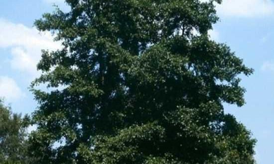 Alnus glutinosa / Schwarz-Erle - gut für feuchte Standorte geeignet