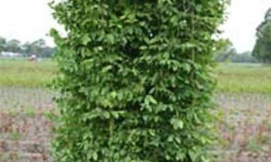 Carpinus betulus / Hainbuche / Fertighecke / Heckenelement 200 cm