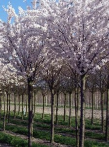Prunus serrulata 'Taihaku' / Weiße Zierkirsche 'Taihaku'