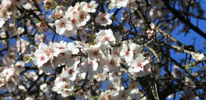 almond-tree-2981519_1280