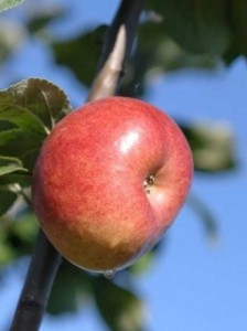Die Wurzeln von frisch gepflanzten Obstgehölze werden gerne von Wühlmäusen angefressen