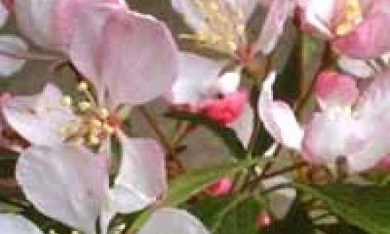 1704_0_malus-floribunda