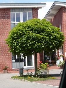 Catalpa bignonioides 'Nana' / Kugel-Trompetenbaum