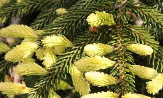Picea orientalis 'Aureospicata' / Goldspitzenfichte