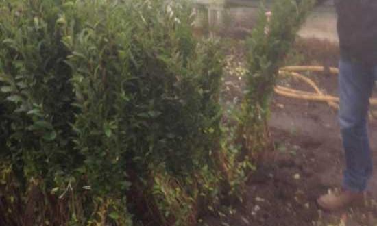 Ligustrum vulgare 'Atrovirens' / wintergrüner Liguster - am besten im Frühling zurückschneiden