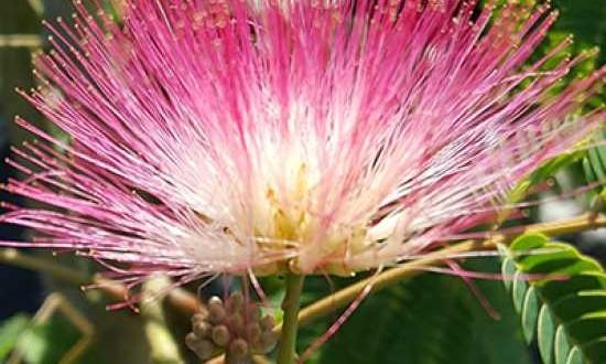 Albizia julibrissin 'Ombrella' / Albizia julibrissin 'Boubri' / Seidenbaum 'Ombrella' / Seidenfädenakazie 'Ombrella' - nicht nur die Blüten sind ein echter Hingucker