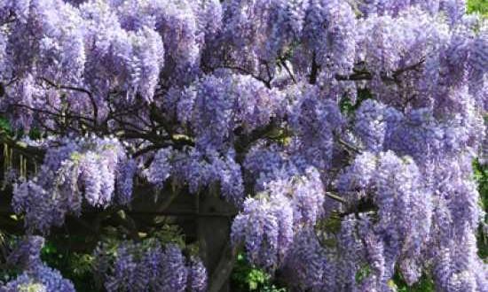 Wisteria sinensis 'Prolific' / Chinesischer Blauregen 'Prolific' - eine wunderbare Blütenpracht