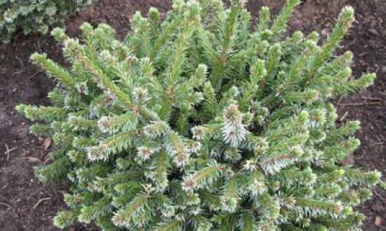 Picea omorika 'Pimoko' / Serbische Zwerg-Fichte - eine schnittfeste Fichten-Sorte, die man gut als Kugel formen kann