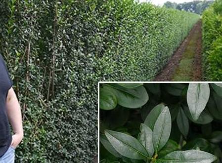 Ligustrum vulgare 'Atrovirens' / Wintergrüner Liguster / Fertighecke / Heckenelement 200 cm - als Sichtschutz für Balkon geeignet