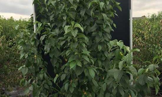 Cornus stolonifera 'Flaviramea' / Gelbholz-Hartriegel - blüht in gelbweißen Schirmrispen und ist gut für eine Mischhecke geeignet