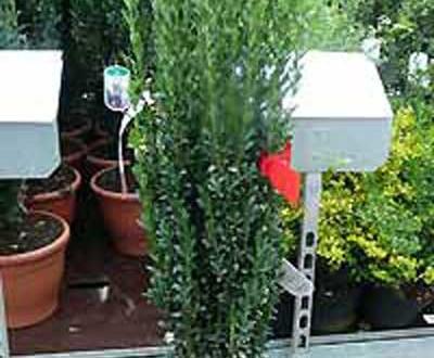 Ilex crenata 'Fastigiata' / Japanische Säulen-Stechpalme - auch im Winter immer gut wässern