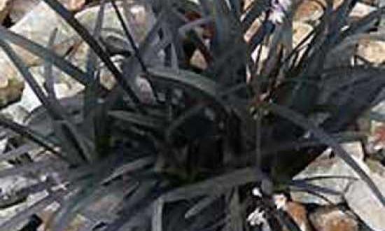Ophiopogon planiscapus 'Nigrescens' / Schwarzer Schlangenbart / Dunkelblättriger Garten-Schlangenbart - bildet besonders im Herbst einen wunderbaren Kontrast zur Blattfärbung des Parrotia Persica