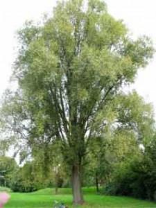 Salix alba 'Sericea' / Seiden-Silber-Weide / Echte Silber-Weide