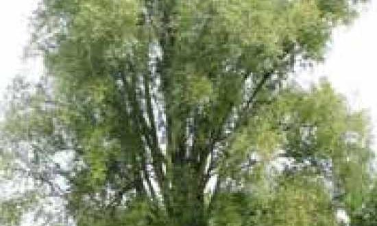 1775_0_salix-alba-sericea