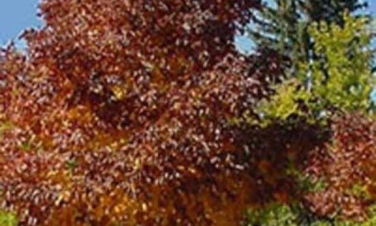 Fraxinus americana 'Autumn Purple' / Weiß-Esche 'Autumn Purple' - tolles Solitärgehölz mit wunderbarer Herbstfärbung
