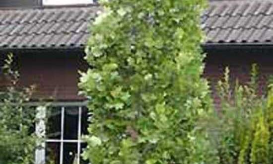 862_0_Liriodendron-tulipifera-Fastigiatum-Saeulen-Tulpenbaum-1