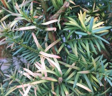Taxus-Eibe-mit-gelben-Nadeln