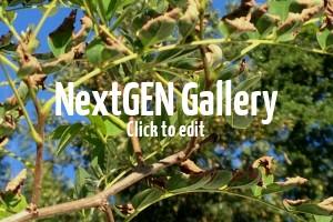 Akazie Umbraculifera – neue Blattzweige werden dürr & braun